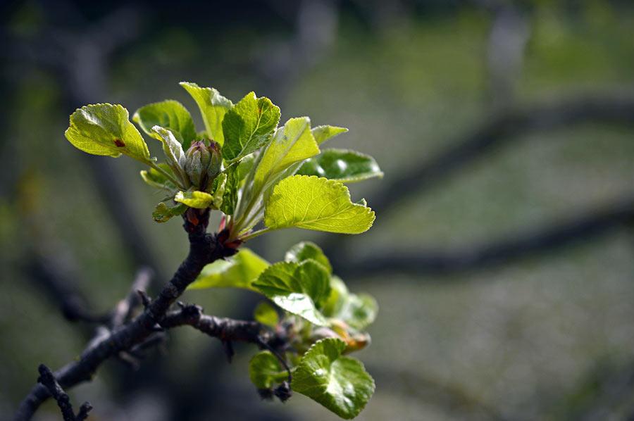 Apfel-Knospen im Frühjahr