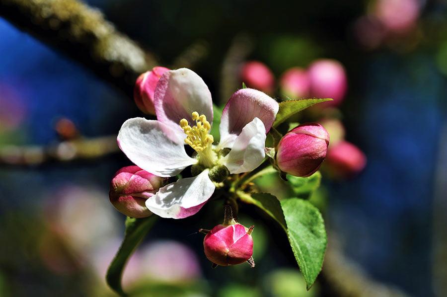 Apfel-Blüten