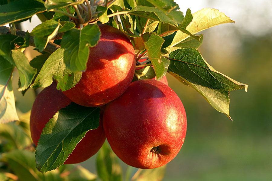 Die Äpfel reifen am Baum