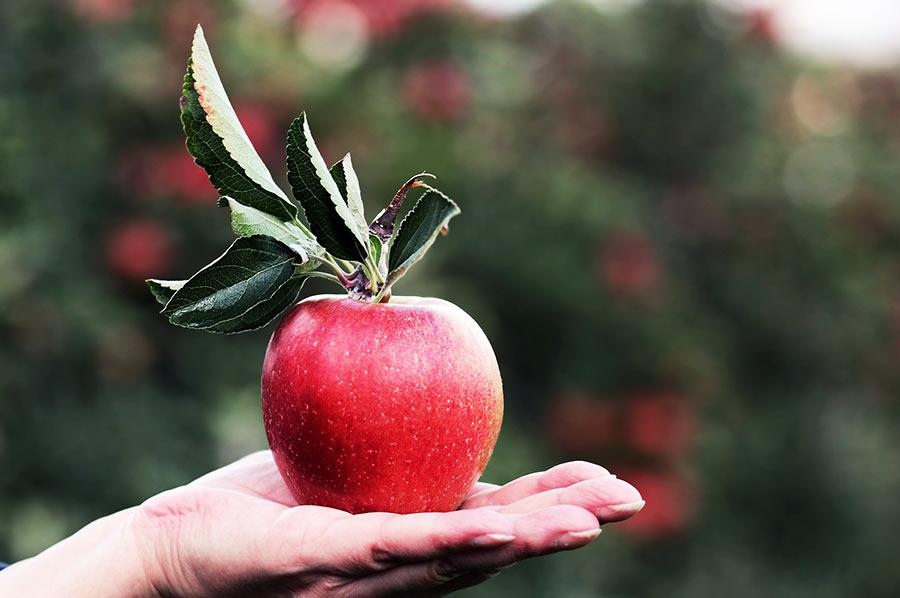 Apfel-Ernte