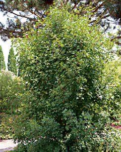 Acer monspessulanum – Burgen-Ahorn, Dreilappiger Ahorn