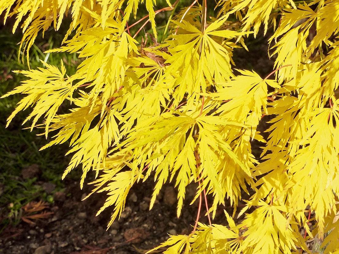 Acer palmatum dissectum - jap. Schlitzahorn
