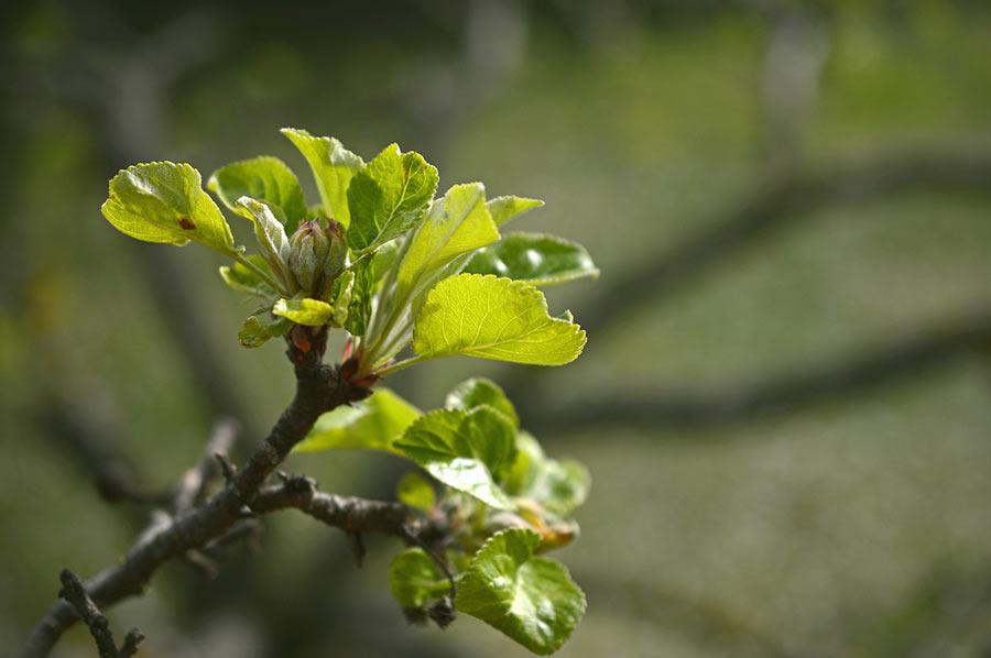 Apfelblüte beim Wachsen