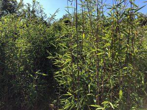 Bambus und Ziergras für München