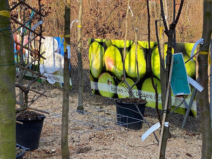 Birnenbaum für München