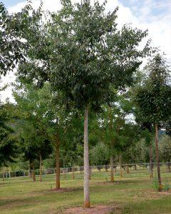 Celtis australis – Südlicher Zürgelbaum
