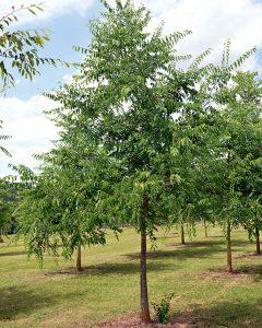 Celtis occidentalis – Amerikanischer Zürgelbaum