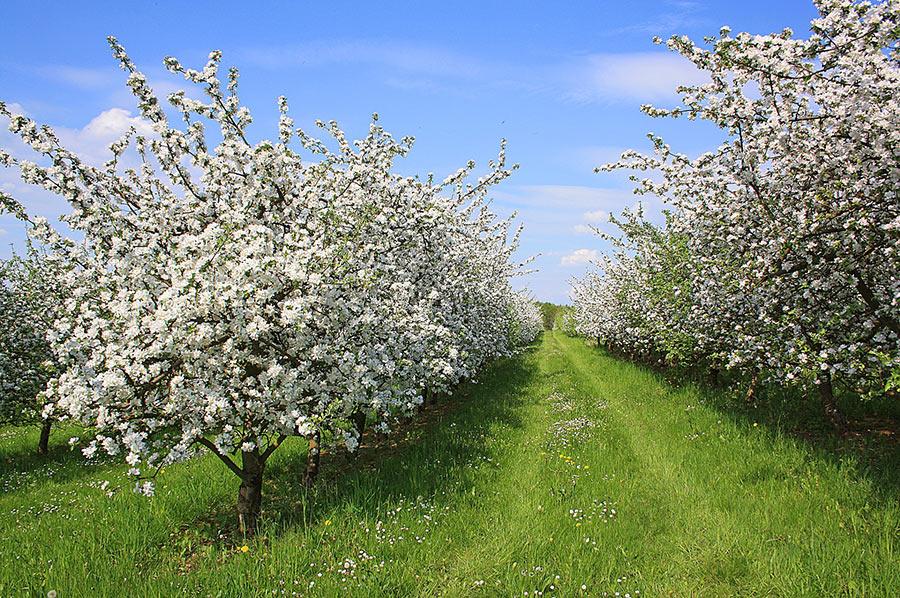 Feld mit Apfelbäumen