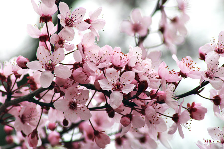Frühlingserwachen Kirschblüten