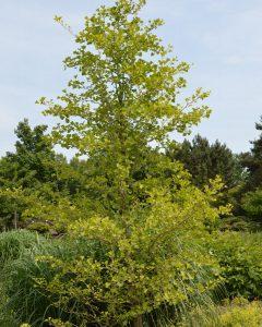 Ginkgo biloba – Fächerblattbaum, Gingkobaum