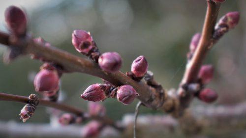 Halbstamm Obstbäume in der GARTENWELT
