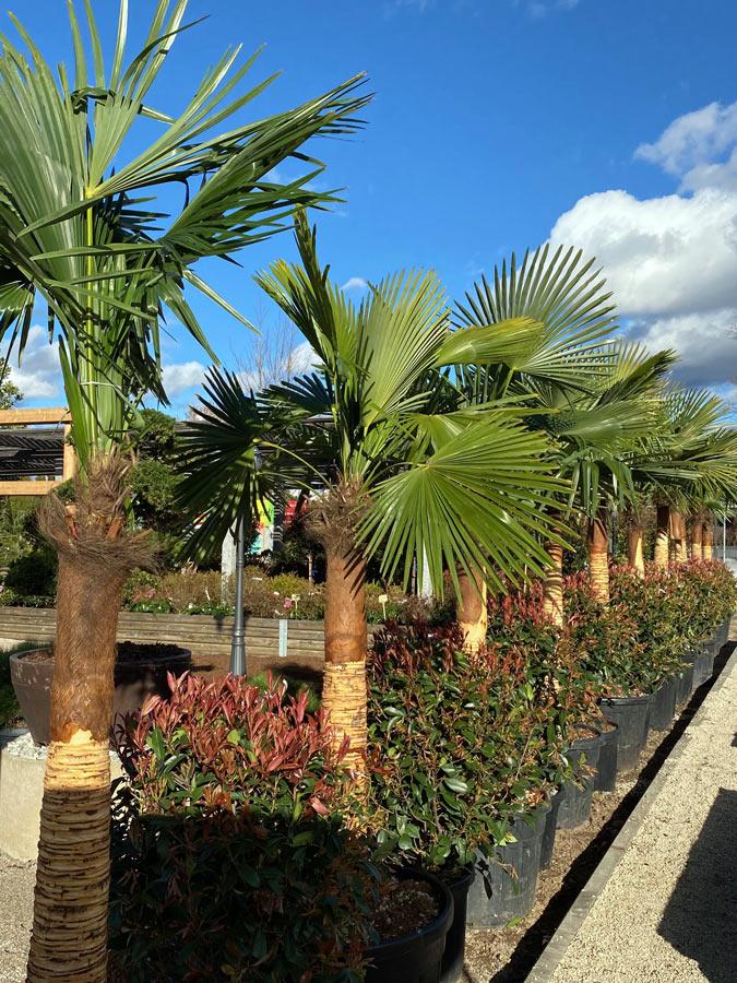 Hanfpalme im Tropical Style