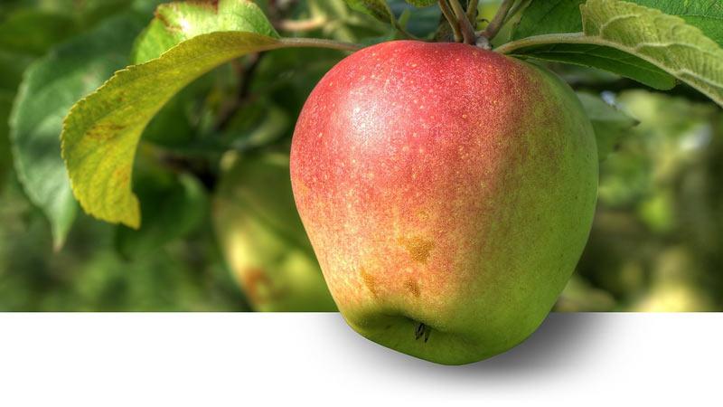 Herbst ist Top Pflanzzeit für Obstbäume