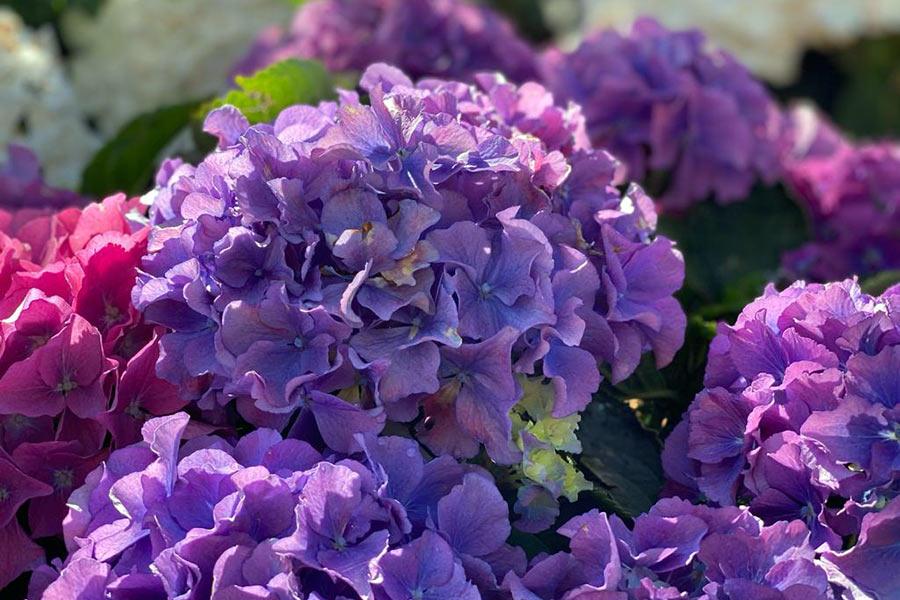 Hortensie violett