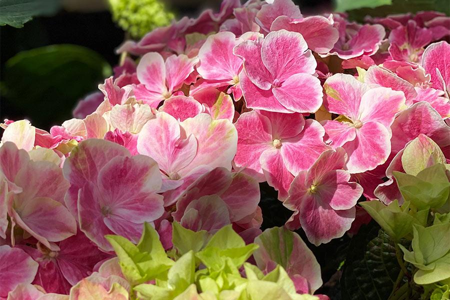 Hortensien in der Gartenwelt