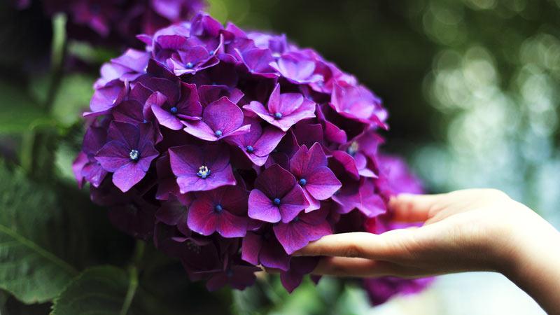 Hortensien sorgen für Farbspektakel in der Gartenwelt