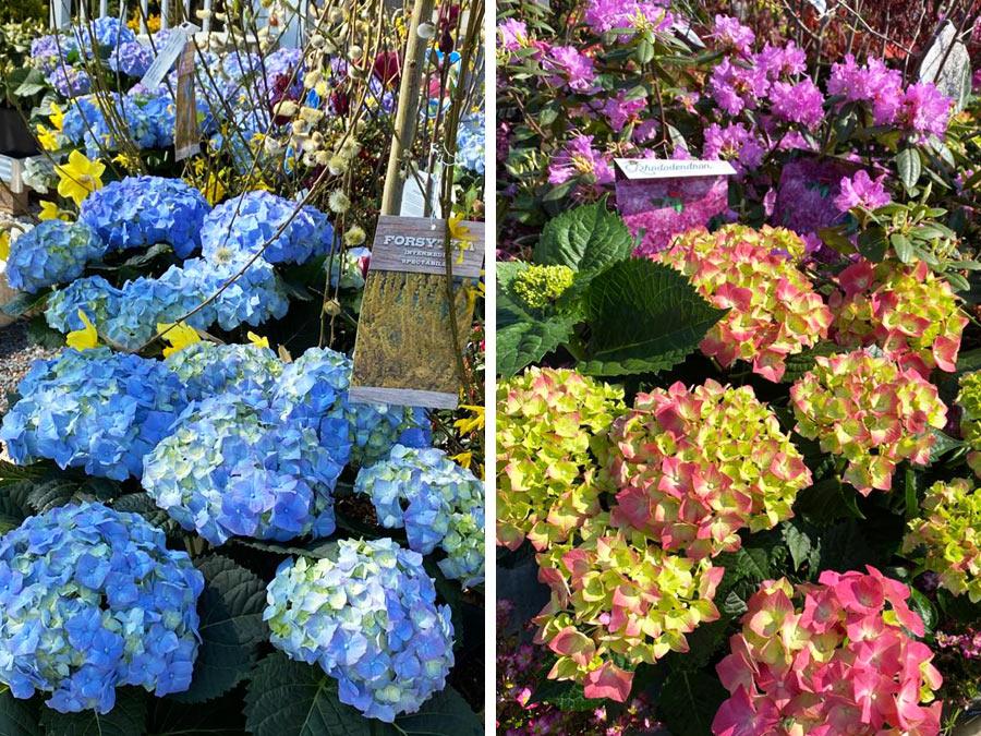 Hortensien und Frühlingsblumen zu Ostern