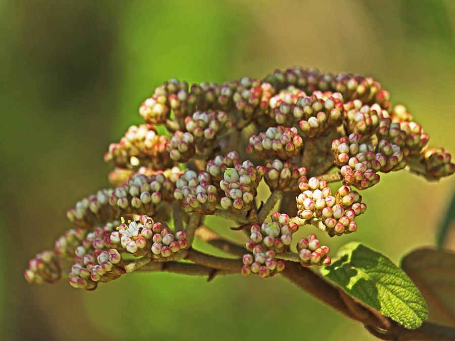 Immergrüner Schneeball - Viburnum rhytidophyllum