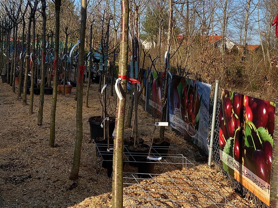 Kirschbaum für München
