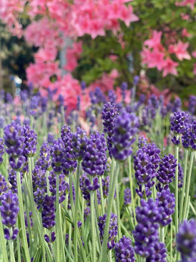 Lavendel für München