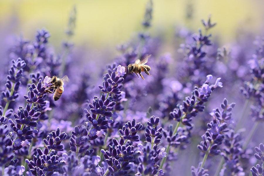 Lavendel insektenfreundlich