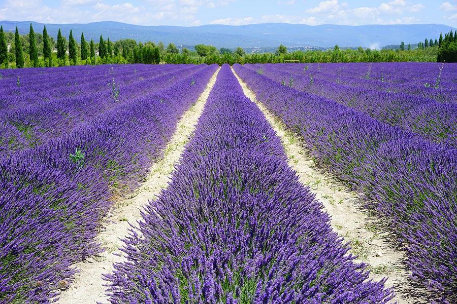 Lavendelfeld im Süden