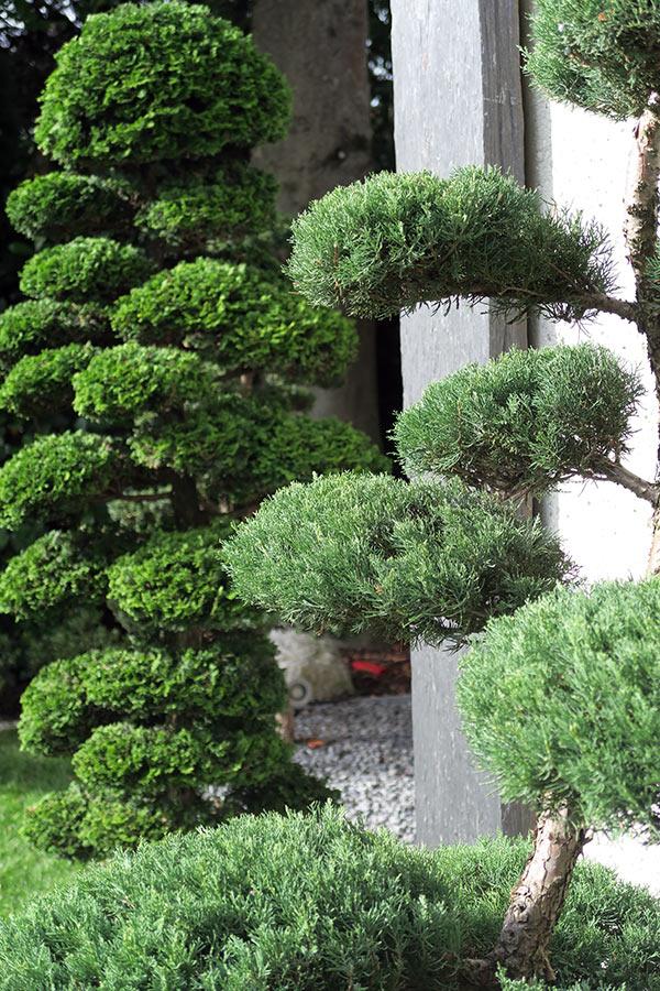 Muschelzypresse Bonsai