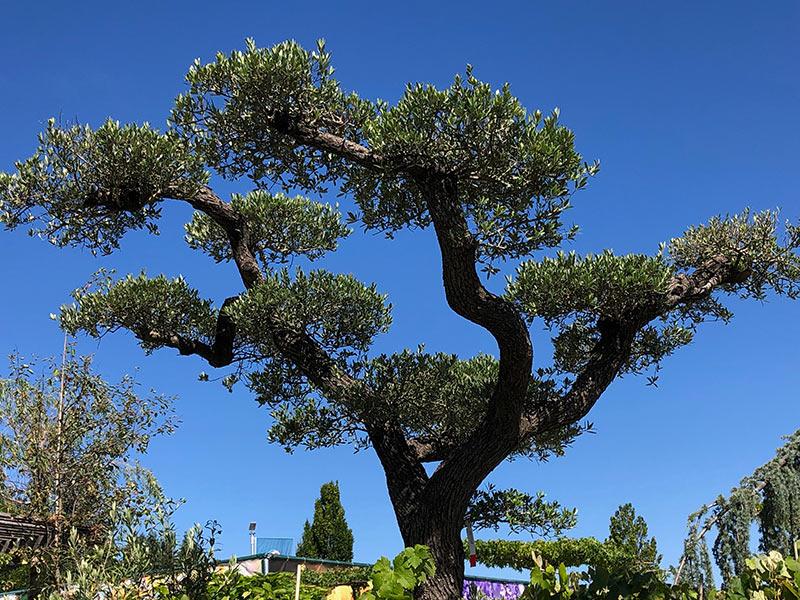 Oliven-Bonsai