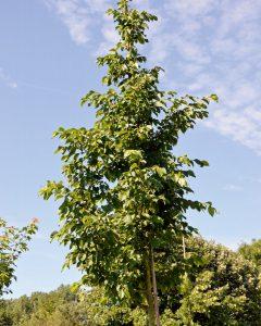 Ostrya carpinifolia – Hopfenbuche