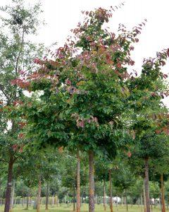 Parrotia persica – Eisenholzbaum