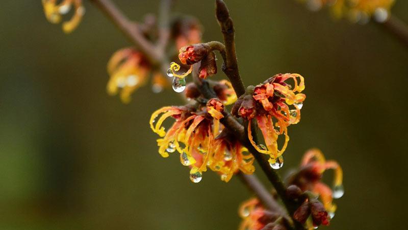 Pflanze des Monats Januar: Zaubernuss (Hamamelis)