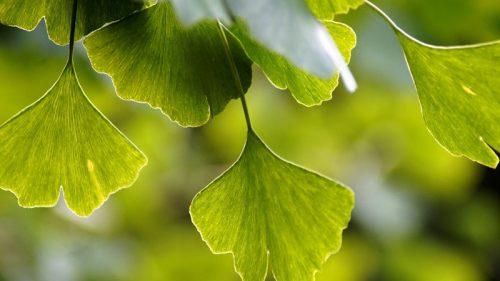 Pflanze des Monats November: Gingko biloba