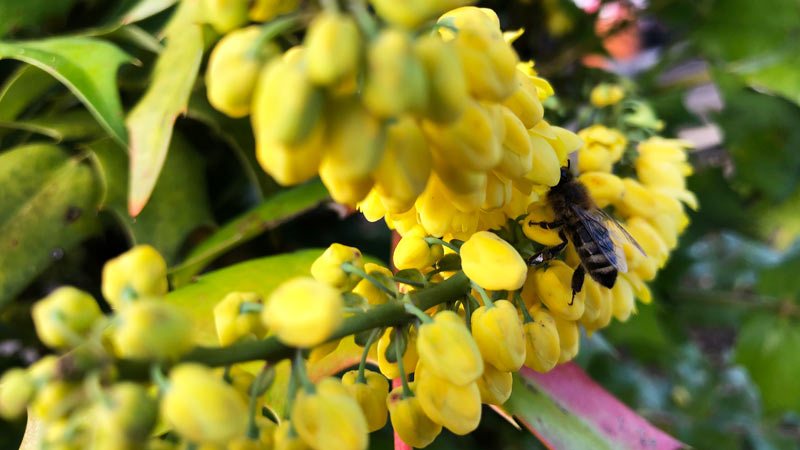 "Pflanze des Monats November: Mahonia media ""Winter Sun"""