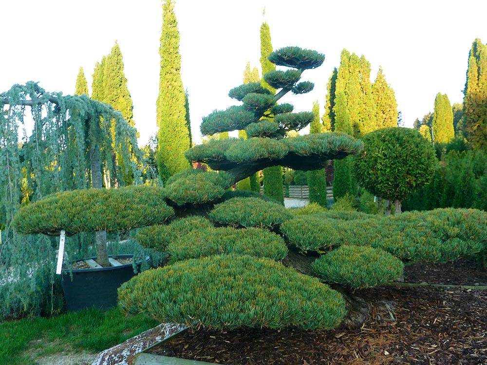 Pinus Pentaphylla glauca