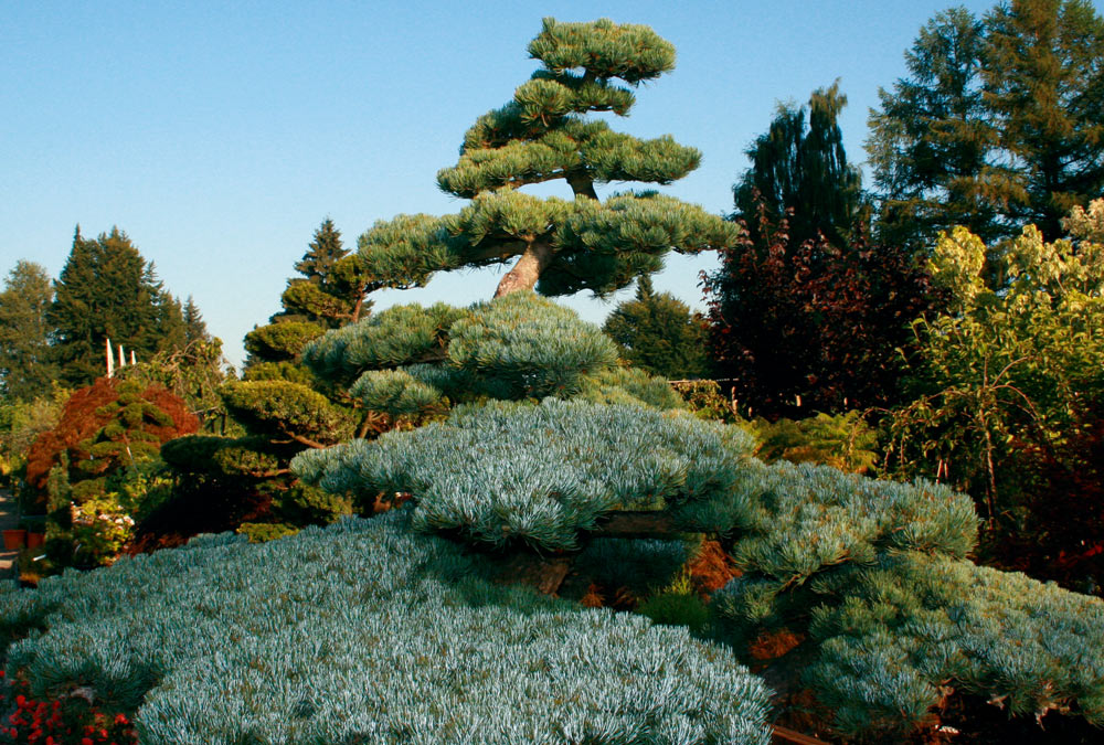 Pinus Pentaphylla glauca (Mädchen-Kiefer)