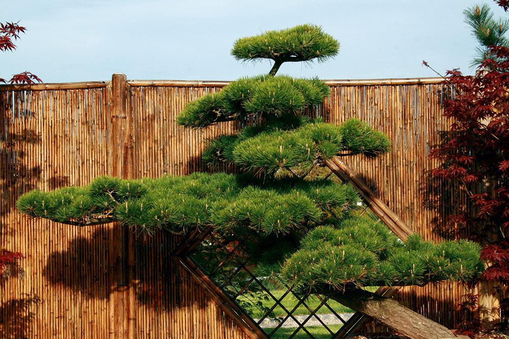 Pinus Thunbergii (japanische Schwarzkiefer)