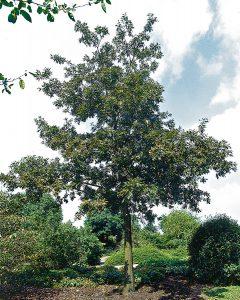 Quercus cerris – Zerr-Eiche