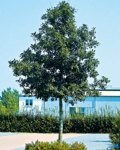 Quercus frainetto – Ungarische Eiche