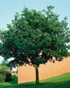 Quercus petraea – Trauben-Eiche