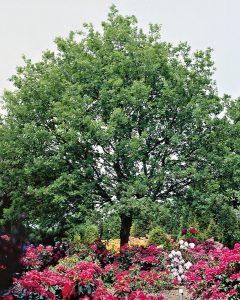 Quercus robur – Deutsche Eiche - Stiel-Eiche