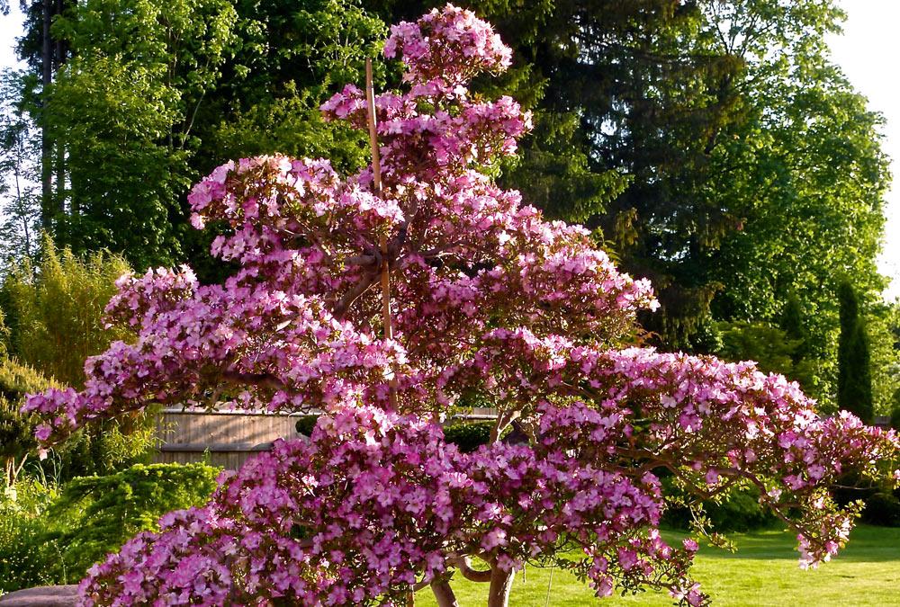 Rhododendron Indicum (Azalee)