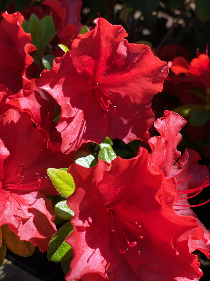 Rhododendron mit roter Blüte