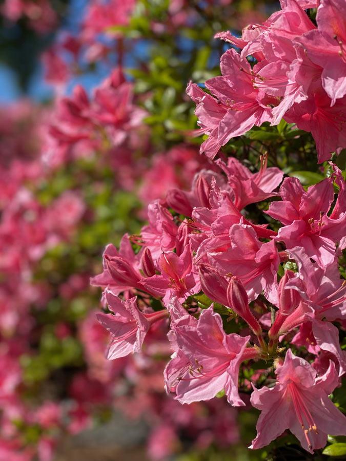 Rhododendron mit pink-farbener Blüte