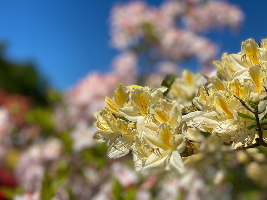 Rhododendron mit gelber Blüte