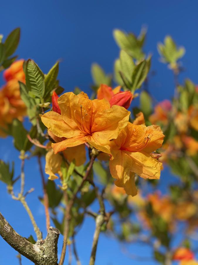 Rhododendron mit orange-farbener Blüte