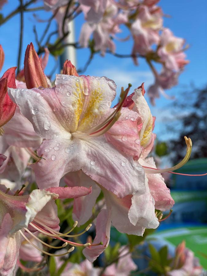 Rhododendron mit rosa Blüte
