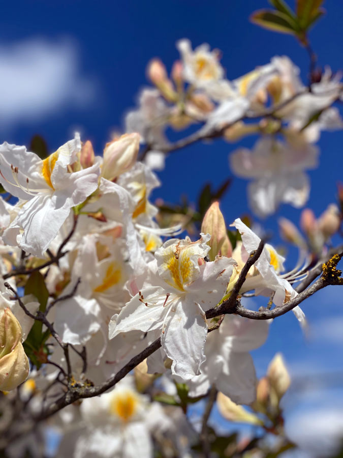 Rhododendron mit weißer Blüte