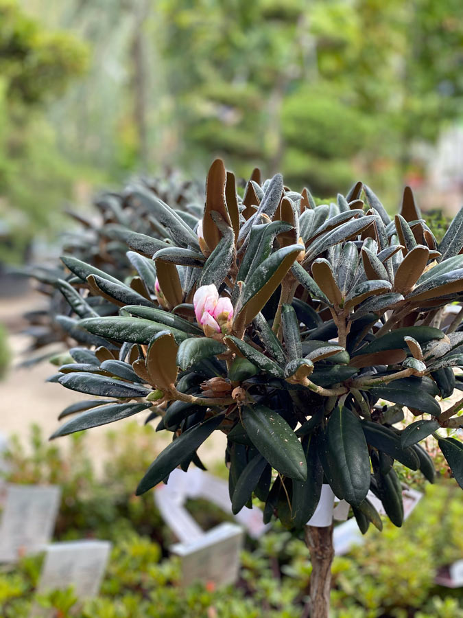 Rhododendron yakkushimanum
