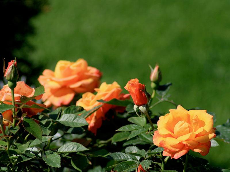 Rose CUBANA