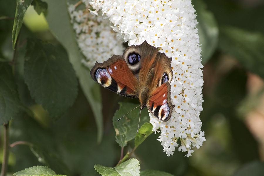 Schmetterlingssträucher